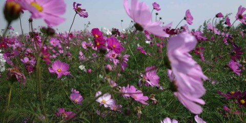 Sea of Flowers Feature